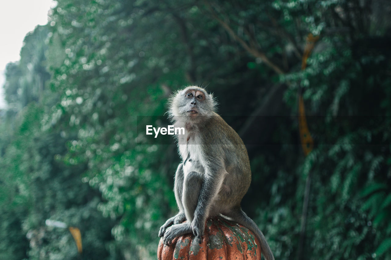 animal wildlife, one animal, animals in the wild, mammal, primate, vertebrate, focus on foreground, tree, day, plant, no people, nature, sitting, looking, outdoors, looking away