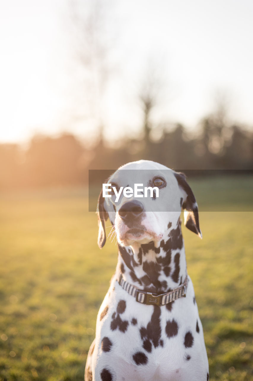 dog, canine, one animal, domestic, pets, domestic animals, animal themes, mammal, animal, dalmatian dog, focus on foreground, vertebrate, spotted, nature, looking, no people, field, looking away, outdoors, day, purebred dog