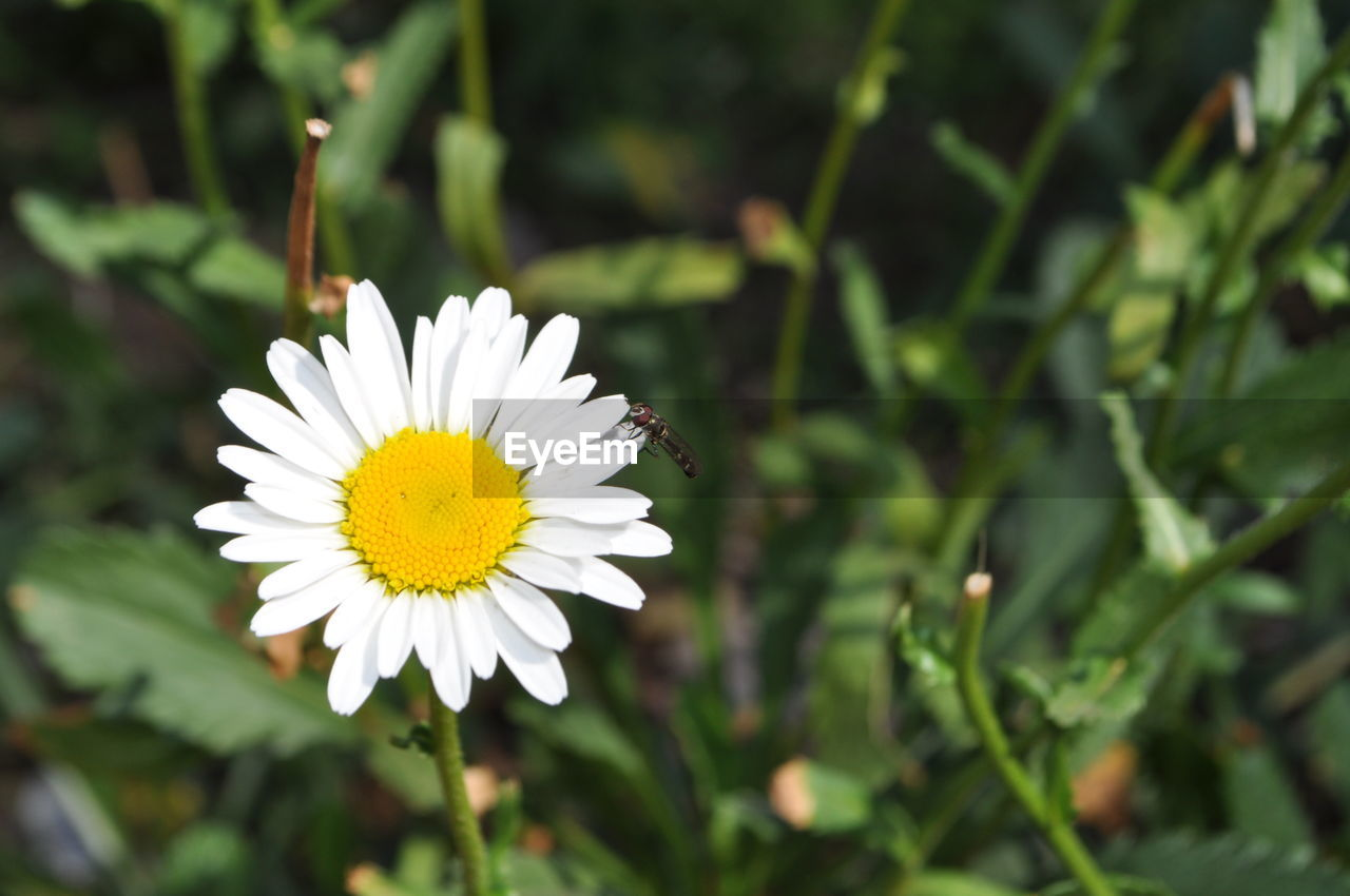 flowering plant, flower, plant, growth, beauty in nature, freshness, petal, fragility, vulnerability, flower head, close-up, inflorescence, yellow, white color, nature, focus on foreground, day, invertebrate, insect, animal wildlife, no people, pollen, outdoors, pollination