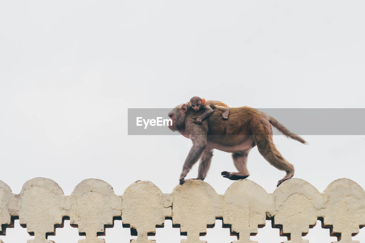 Low Angle View Of Monkey Carrying Infant On Built Structure Against Clear Sky