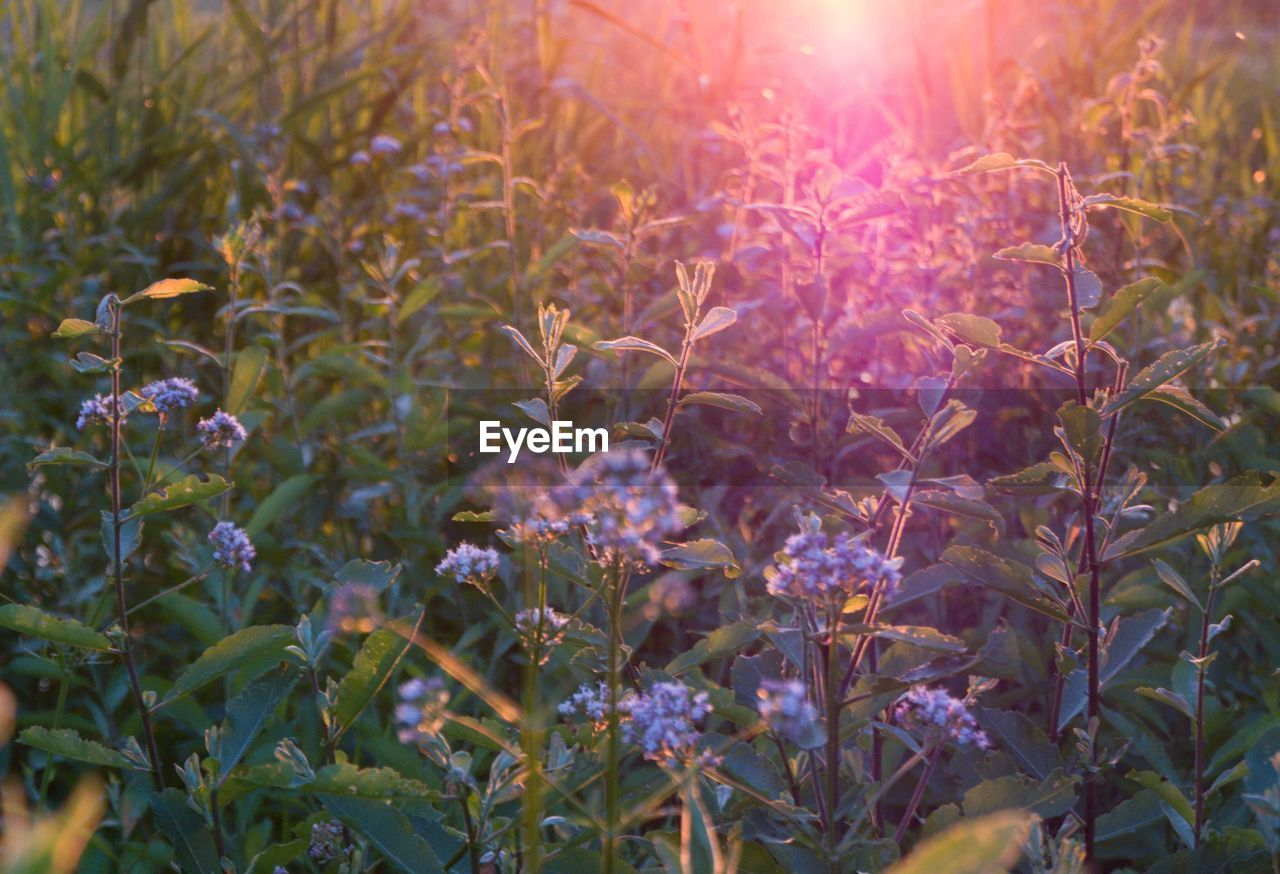 plant, growth, beauty in nature, nature, sunlight, no people, freshness, close-up, flower, flowering plant, day, fragility, vulnerability, field, selective focus, plant part, lens flare, land, sunbeam, leaf, outdoors, purple, flower head