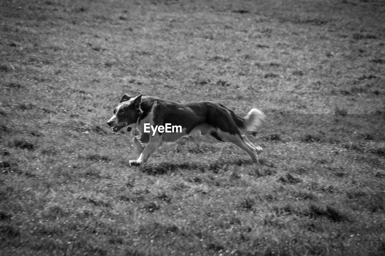 one animal, animal themes, animal, mammal, domestic, canine, pets, dog, domestic animals, vertebrate, land, running, field, no people, nature, day, motion, selective focus, walking, on the move, purebred dog, mouth open