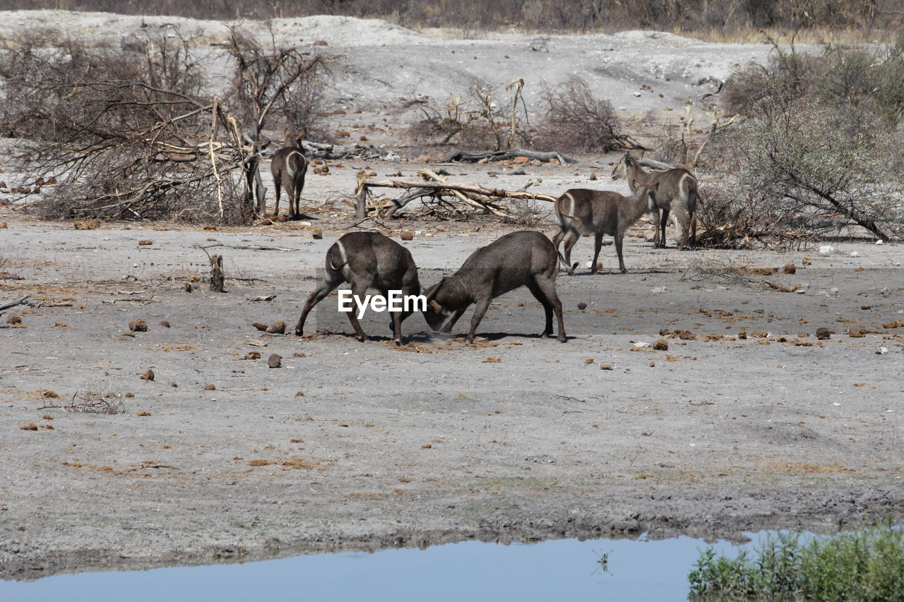 animal, animal themes, mammal, animal wildlife, group of animals, animals in the wild, vertebrate, land, no people, nature, domestic animals, tree, day, plant, field, water, environment, landscape, non-urban scene, lake, herbivorous, climate