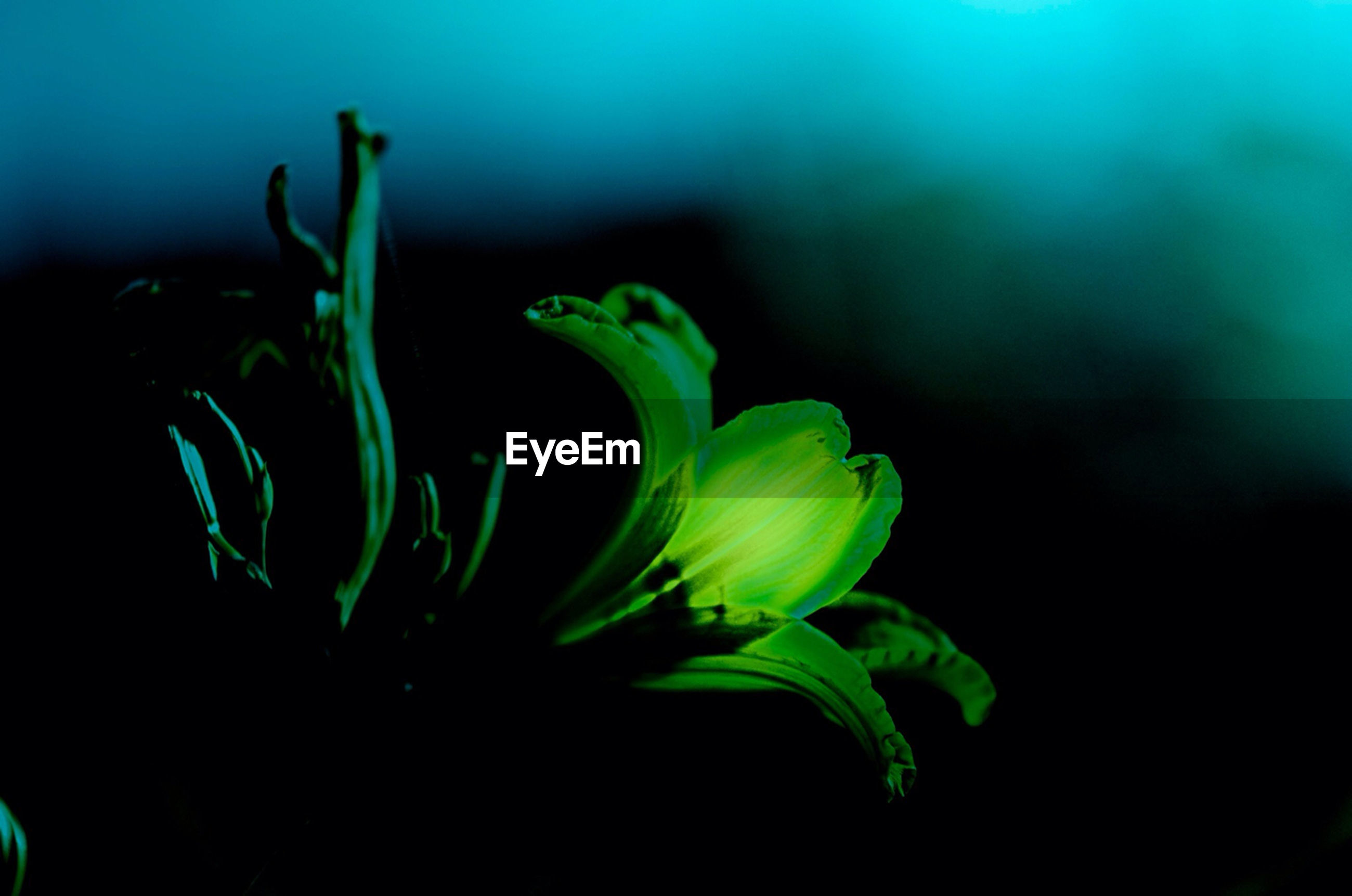 growth, flower, plant, close-up, fragility, freshness, beauty in nature, petal, nature, flower head, stem, focus on foreground, leaf, green color, bud, selective focus, blooming, black background, no people, new life