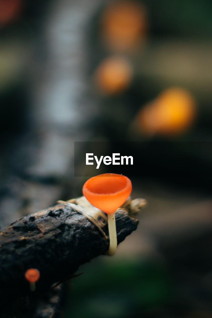 Close-Up Of Orange Mushroom Growing Against Branch