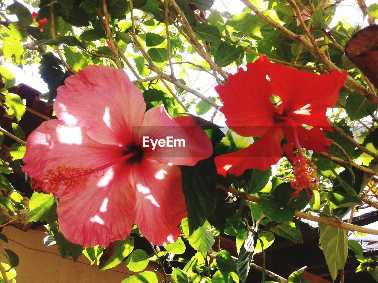 flower, growth, flower head, petal, fragility, hibiscus, nature, freshness, beauty in nature, day, red, blossom, plant, stamen, blooming, outdoors, springtime, no people, close-up, petunia