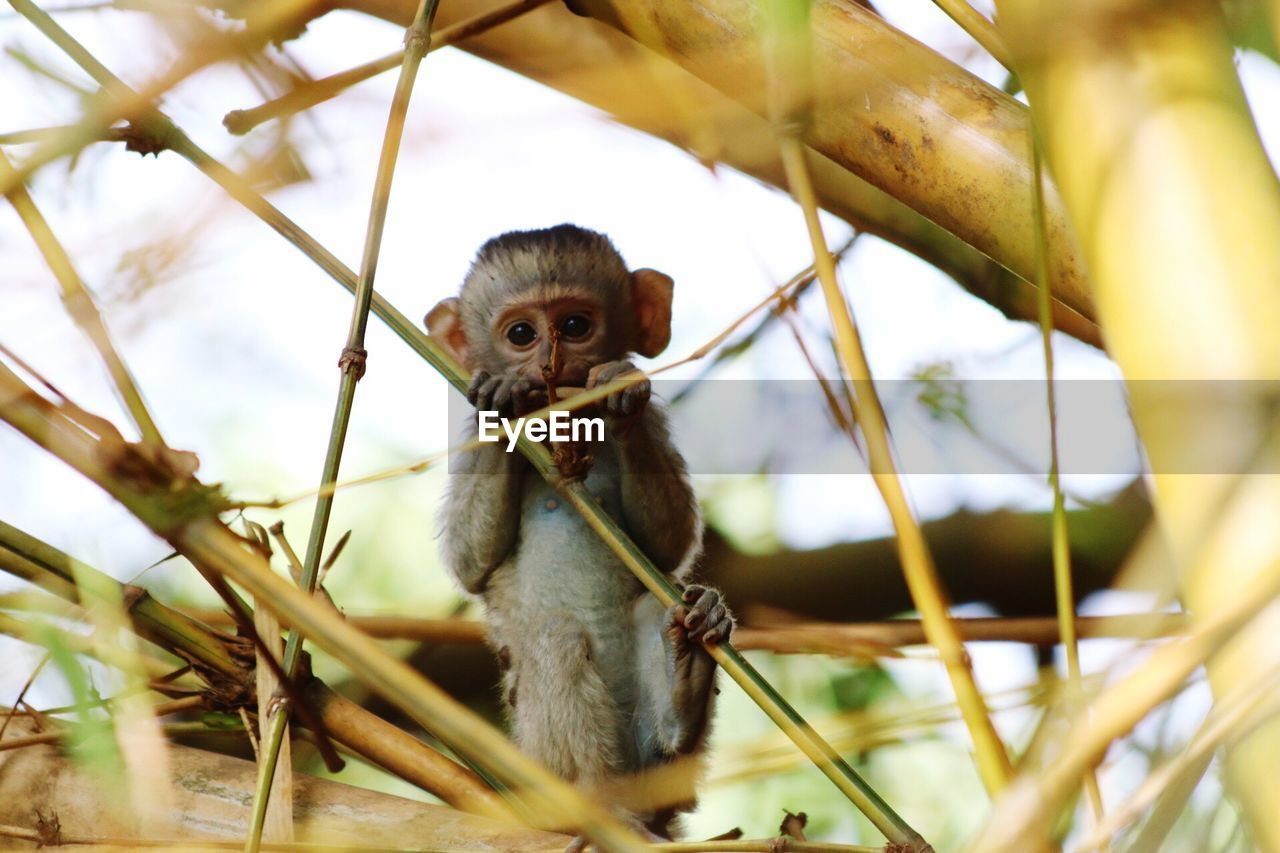 animal, animal themes, animal wildlife, animals in the wild, one animal, vertebrate, plant, primate, day, mammal, nature, no people, selective focus, low angle view, monkey, tree, branch, close-up, outdoors, focus on foreground