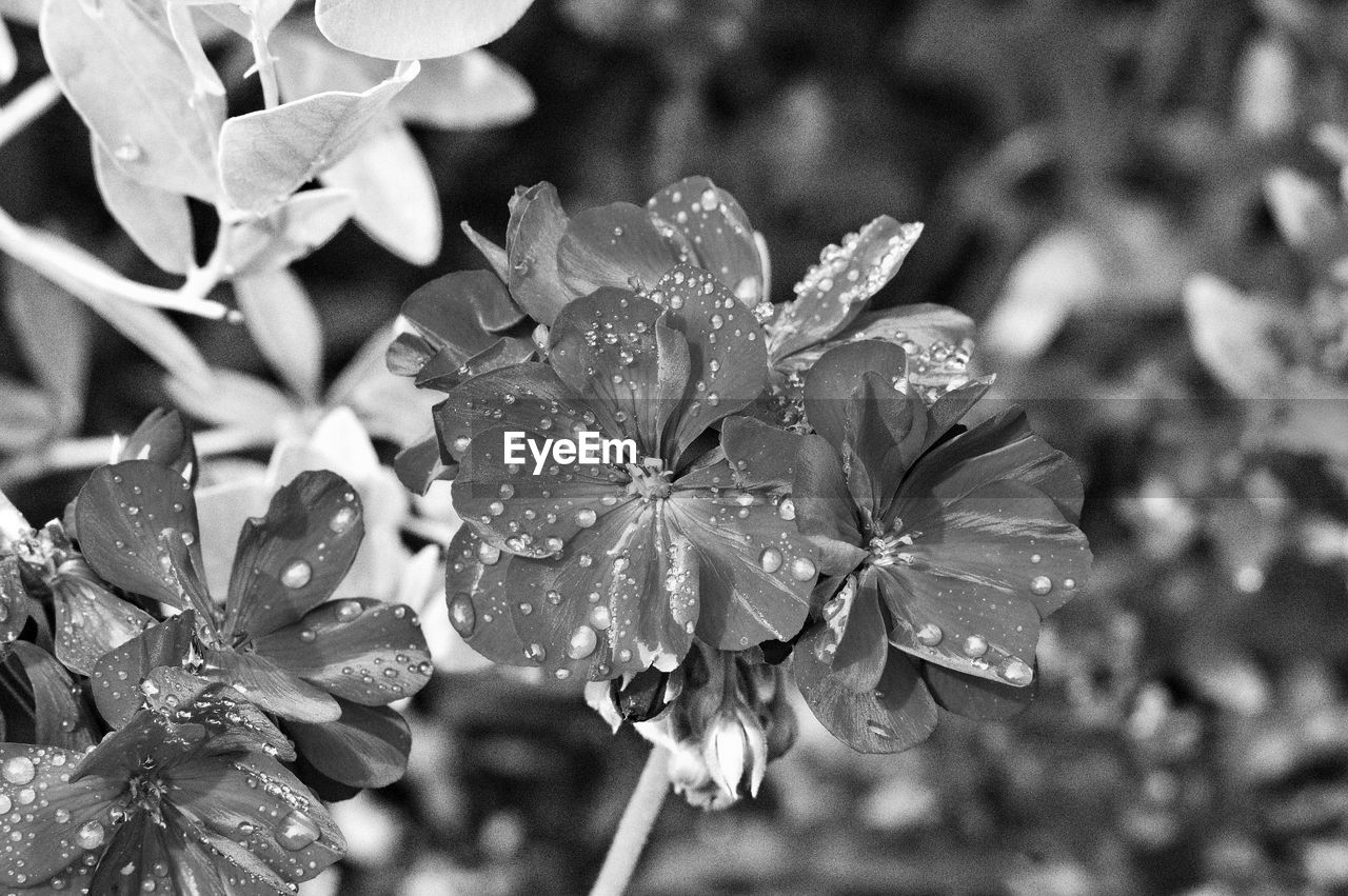 plant, flower, flowering plant, beauty in nature, vulnerability, fragility, close-up, freshness, petal, growth, drop, wet, flower head, focus on foreground, inflorescence, nature, water, no people, day, outdoors, springtime, raindrop, rain, pollen, dew, purity
