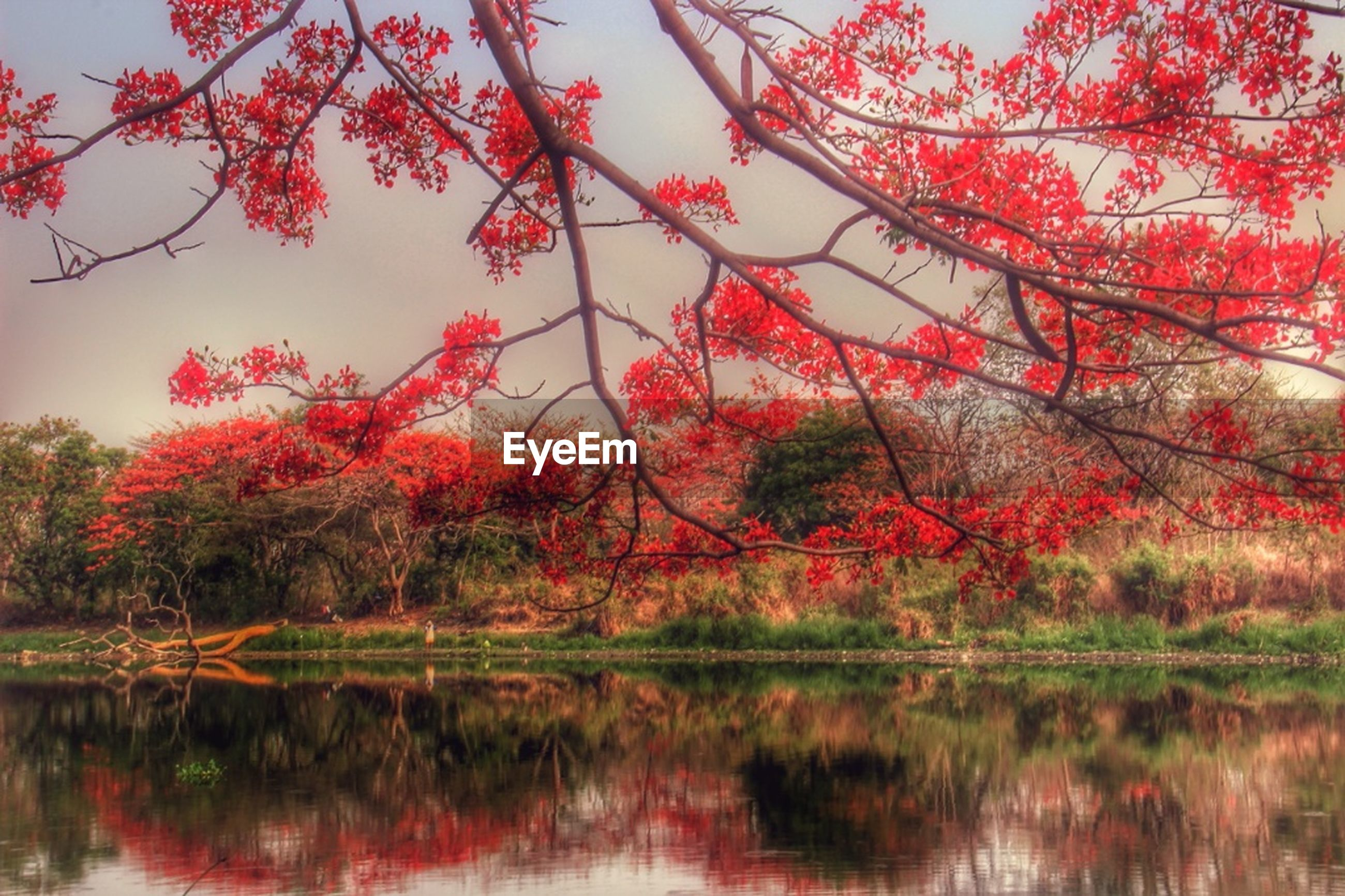tree, water, reflection, lake, tranquility, beauty in nature, tranquil scene, autumn, waterfront, nature, scenics, growth, change, branch, red, idyllic, sky, day, outdoors, season