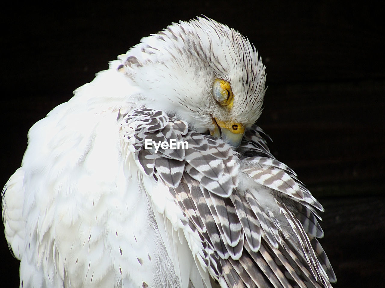 bird, animal themes, animal, vertebrate, one animal, animal wildlife, bird of prey, animals in the wild, close-up, focus on foreground, white color, no people, eagle, day, beak, black background, feather, animal body part, looking, nature, eagle - bird, animal head, yellow eyes, falcon - bird, animal eye