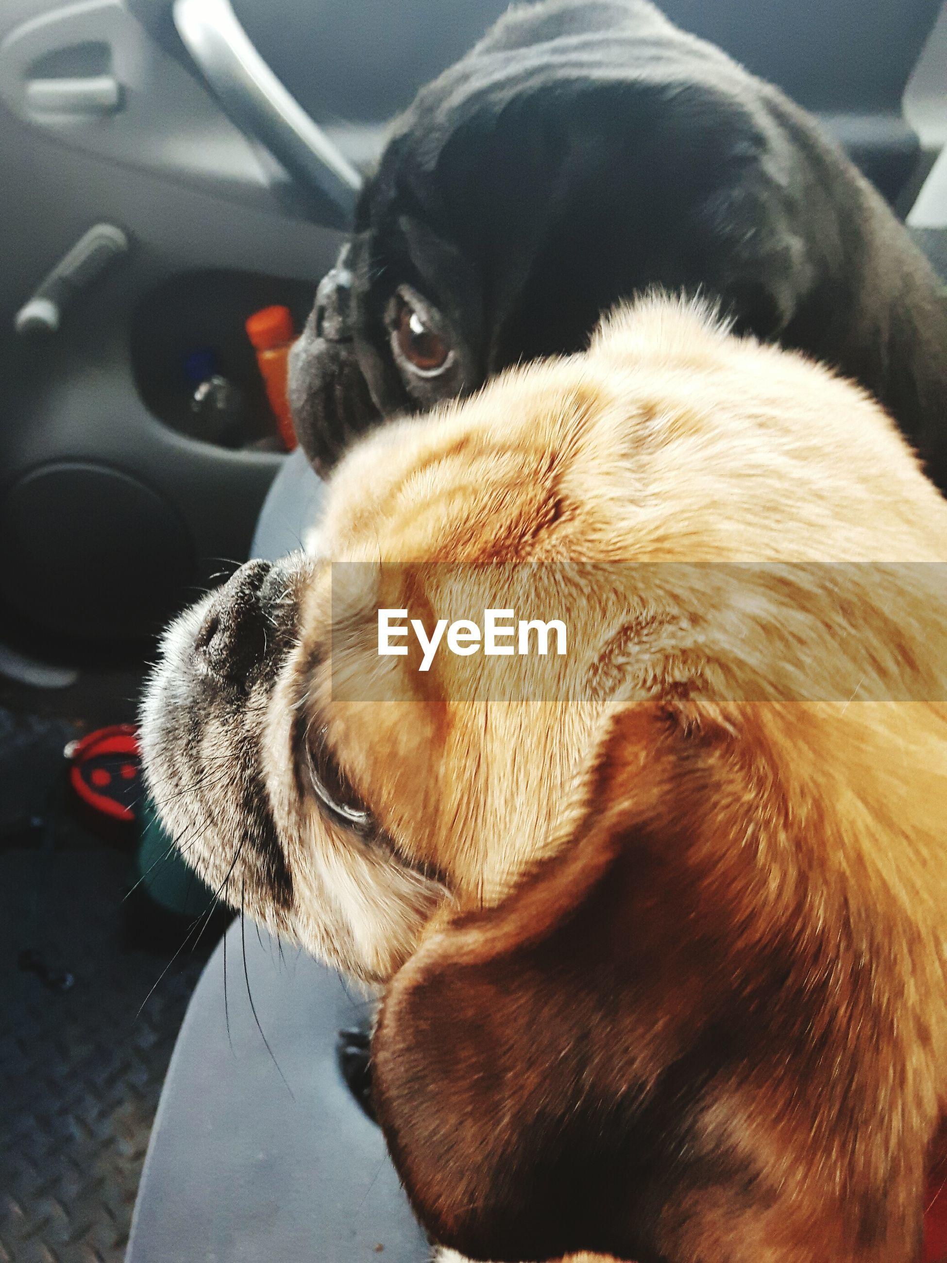 CLOSE-UP OF DOG LYING CAR