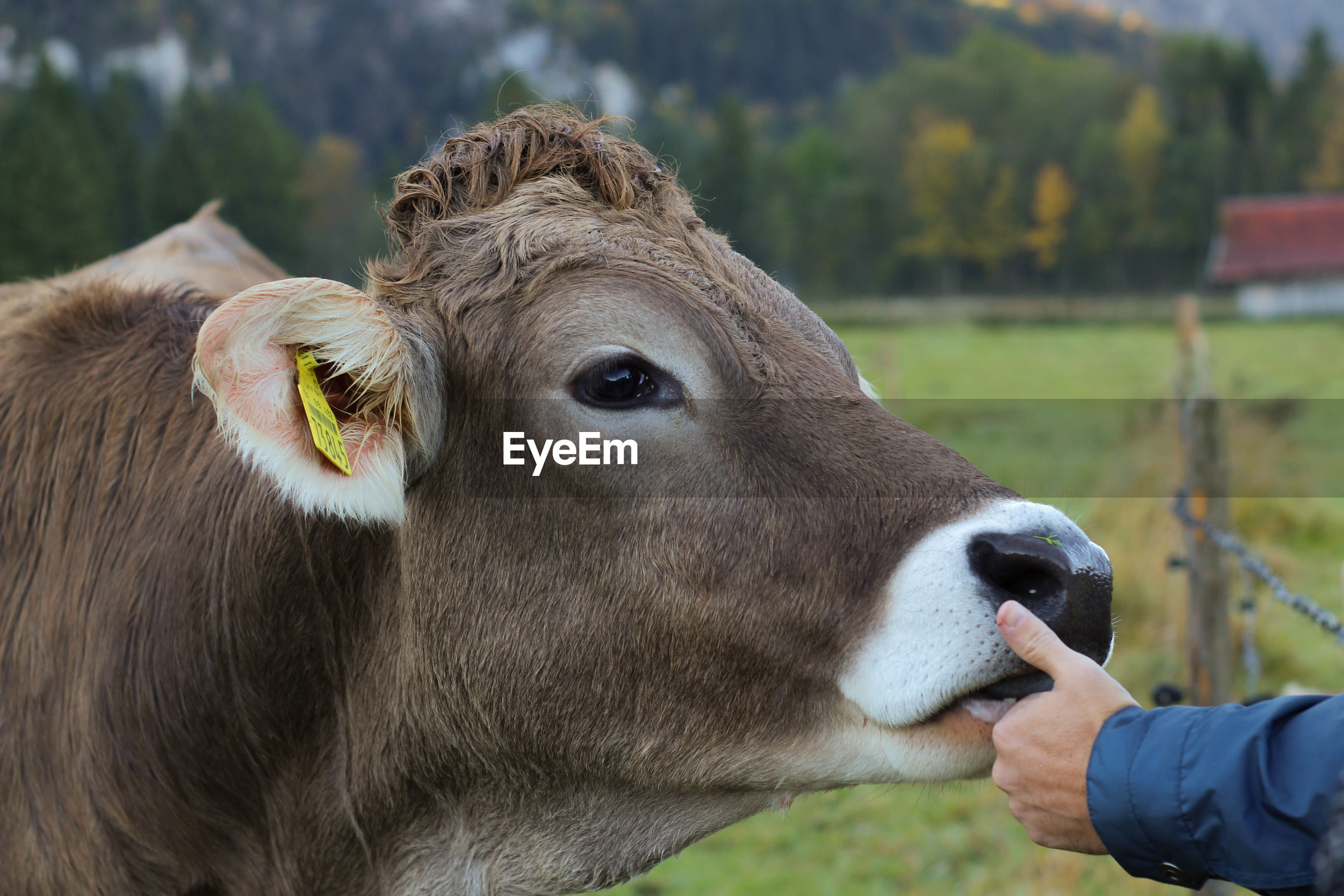 Cropped image of hand touching cow
