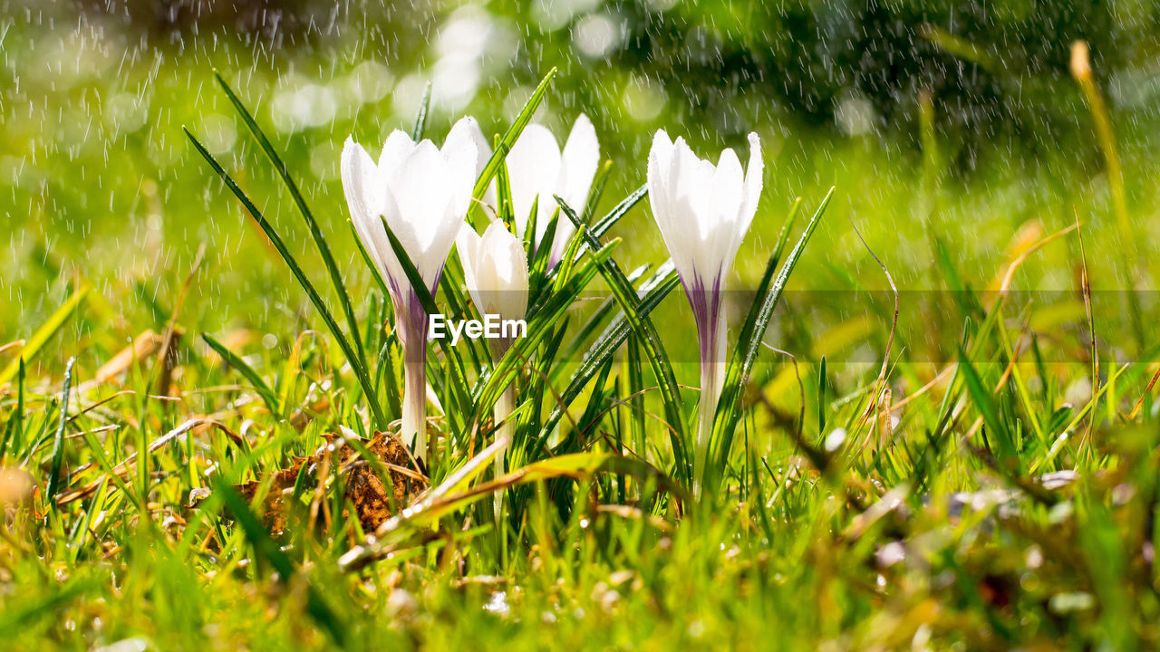 plant, growth, freshness, beauty in nature, flowering plant, flower, vulnerability, fragility, green color, land, field, grass, nature, close-up, white color, petal, snowdrop, day, selective focus, no people, outdoors, flower head, springtime, crocus