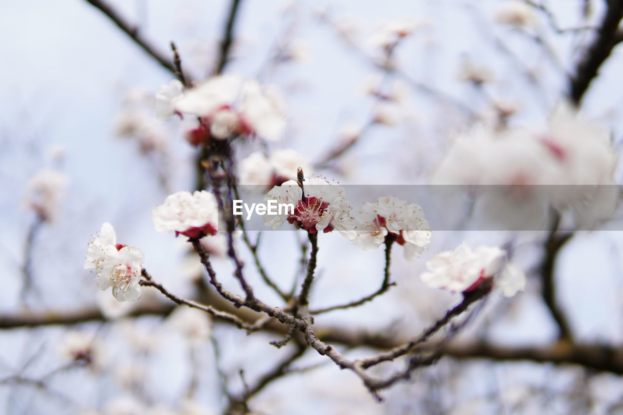 flower, plant, flowering plant, fragility, growth, beauty in nature, vulnerability, tree, freshness, blossom, branch, nature, springtime, white color, day, focus on foreground, close-up, petal, no people, flower head, cherry blossom, outdoors, cherry tree, pollen