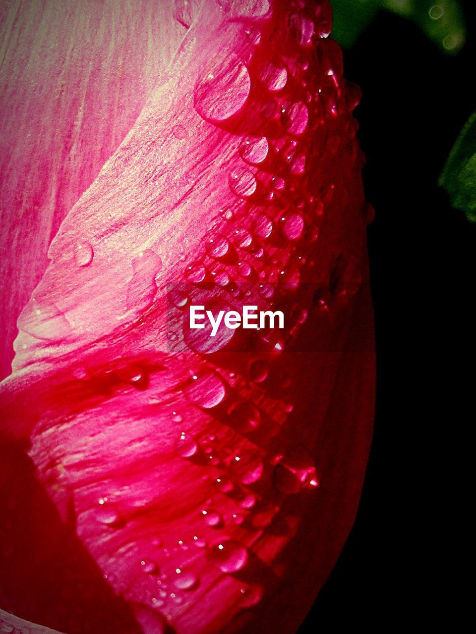 flower, petal, red, freshness, drop, flower head, nature, beauty in nature, fragility, wet, close-up, growth, water, no people, blooming, day, outdoors, hibiscus, black background