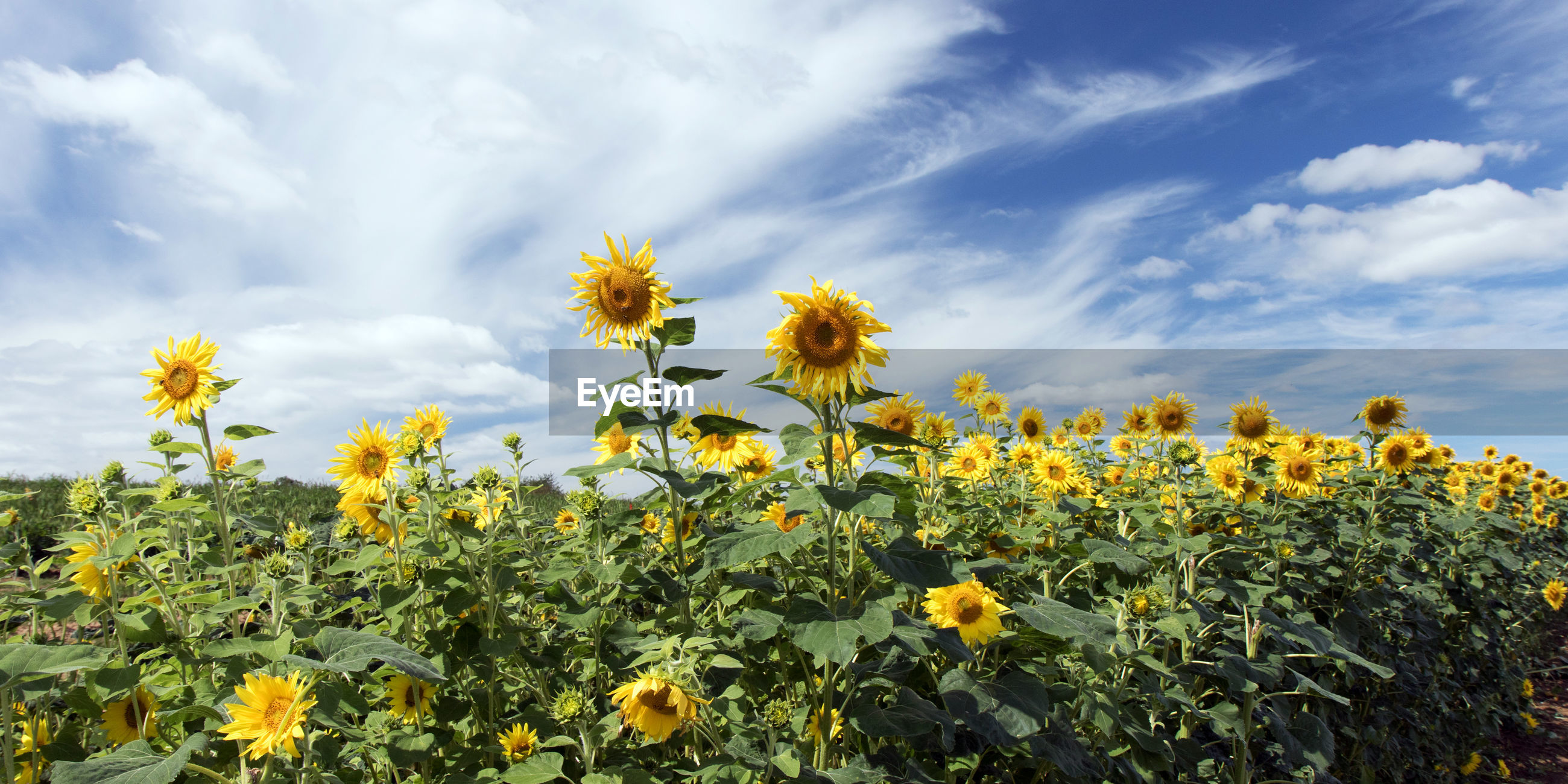 YELLOW FLOWERS ON FIELD AGAINST SKY