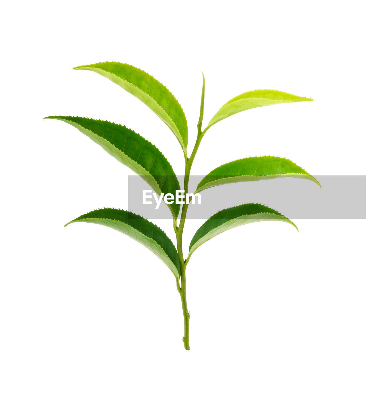 green color, plant part, leaf, white background, cut out, no people, studio shot, plant, close-up, nature, beauty in nature, freshness, indoors, food and drink, food, growth, plant stem, herb, white color, leaves