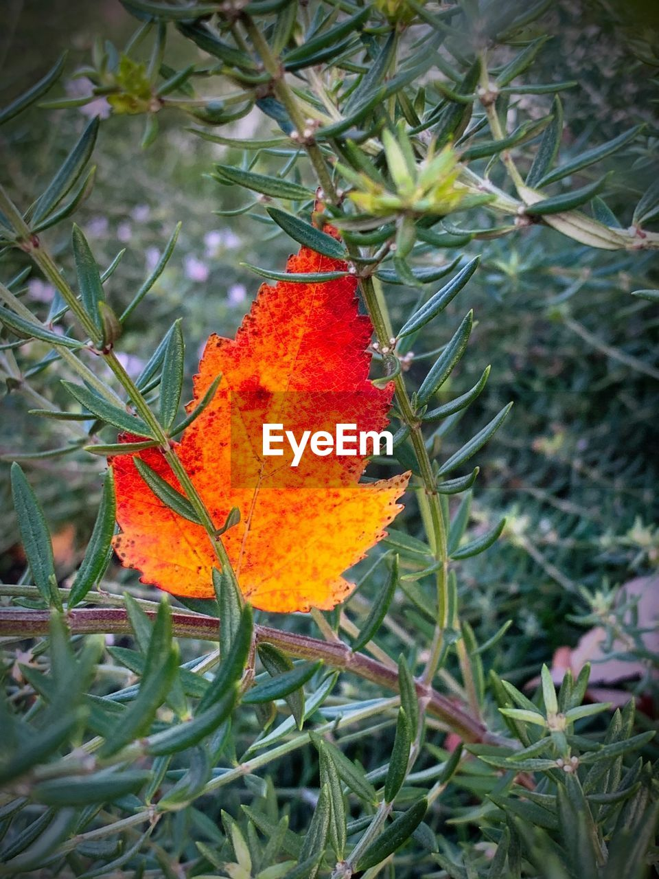 orange color, plant, growth, close-up, plant part, beauty in nature, nature, leaf, no people, day, green color, focus on foreground, outdoors, freshness, land, vulnerability, autumn, selective focus, tree, change, flower, orange