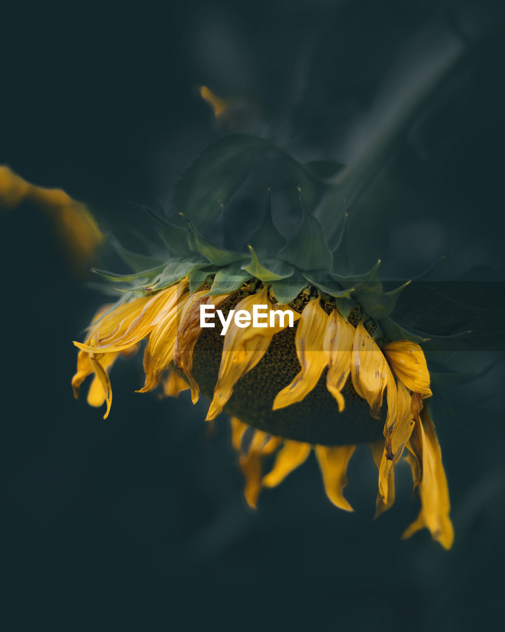 flowering plant, flower, vulnerability, fragility, yellow, plant, freshness, petal, beauty in nature, close-up, flower head, growth, inflorescence, nature, no people, selective focus, outdoors, pollen, botany, sunflower, wilted plant, sepal