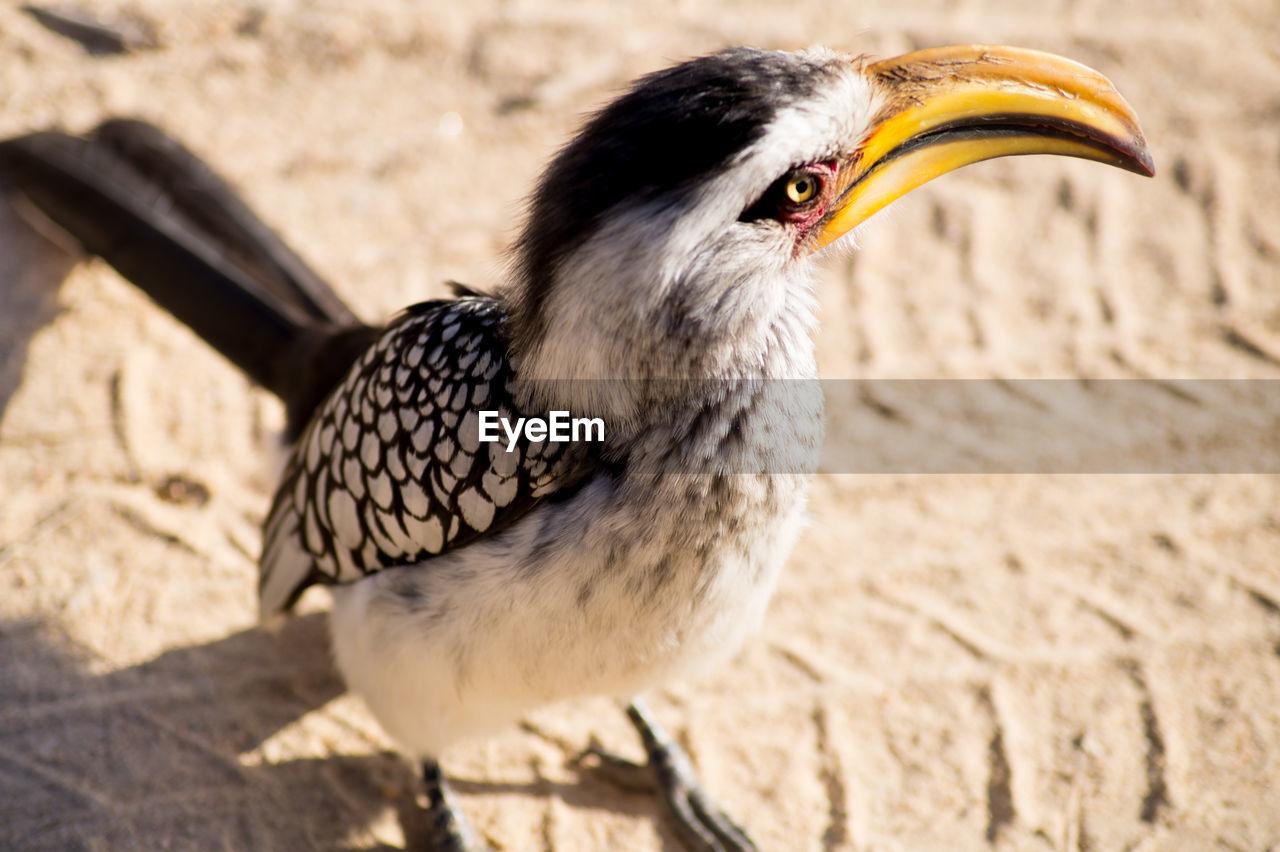 Close-Up Of Hornbill On Sand