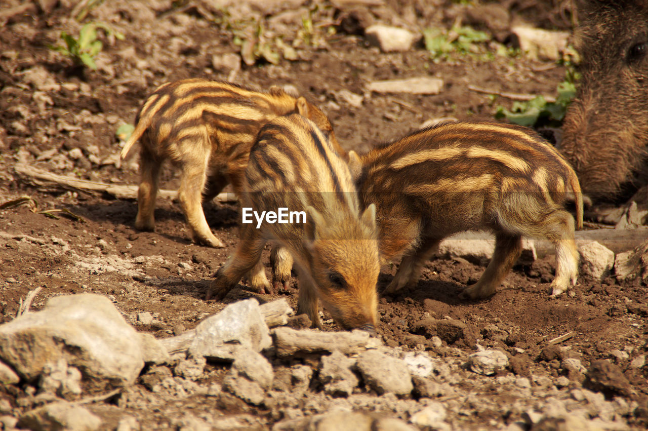 Close-up of wild boar and piglets on field