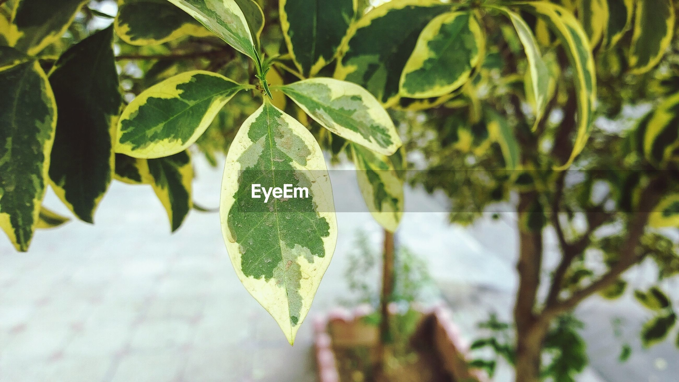 leaf, growth, green color, leaves, close-up, plant, leaf vein, nature, focus on foreground, branch, tree, tranquility, day, beauty in nature, sunlight, outdoors, no people, selective focus, season, growing