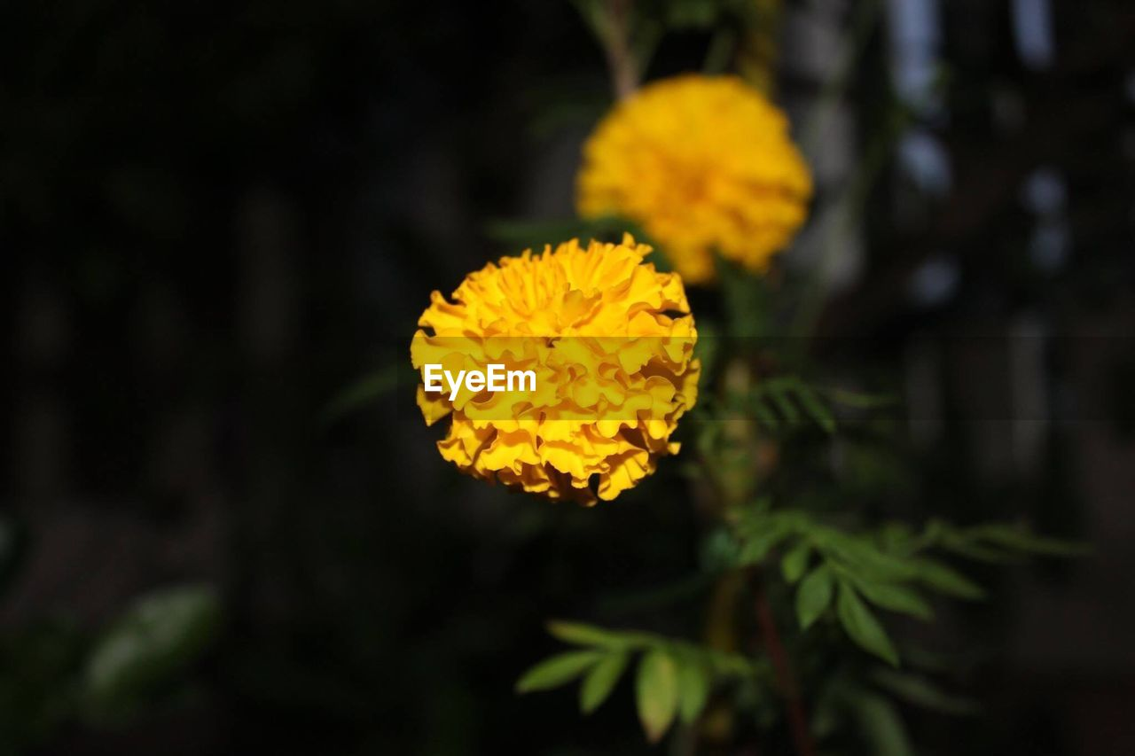 flower, flowering plant, plant, yellow, vulnerability, fragility, beauty in nature, growth, flower head, freshness, petal, inflorescence, close-up, nature, focus on foreground, outdoors, no people, marigold, day, selective focus