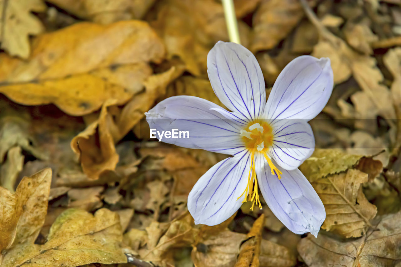 flower, flowering plant, vulnerability, fragility, beauty in nature, plant, flower head, petal, inflorescence, close-up, freshness, growth, nature, yellow, no people, focus on foreground, white color, day, pollen, purple, crocus