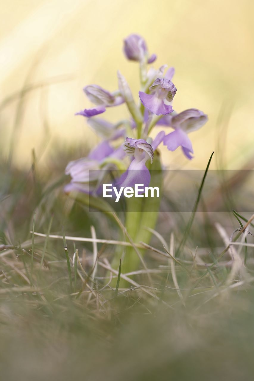 plant, flowering plant, flower, beauty in nature, selective focus, fragility, vulnerability, freshness, growth, field, land, nature, close-up, purple, no people, petal, day, tranquility, outdoors, flower head, crocus