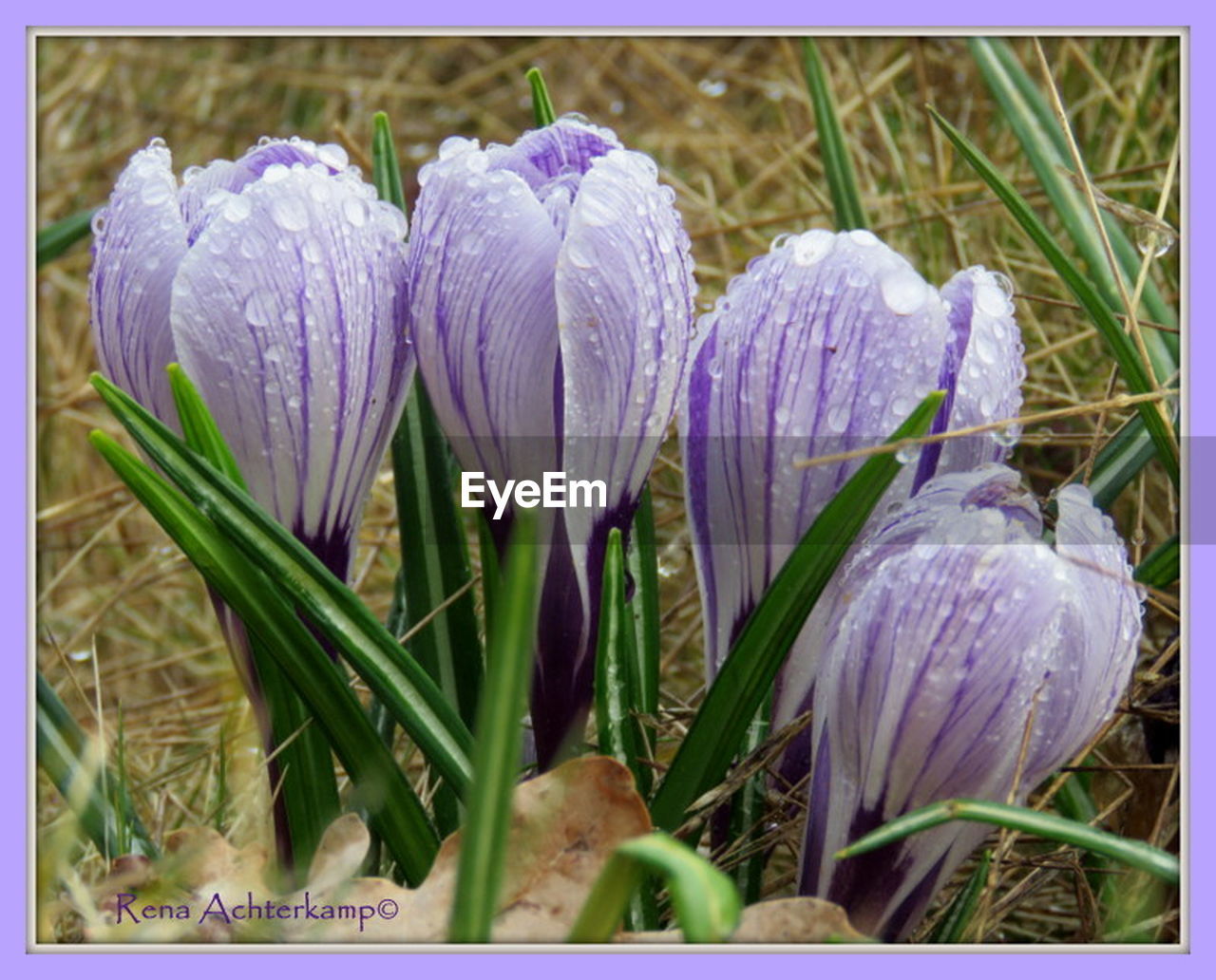 flower, fragility, growth, beauty in nature, nature, freshness, petal, plant, purple, blooming, flower head, no people, close-up, day, outdoors, snowdrop, crocus