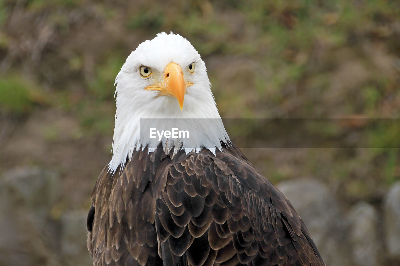bird, vertebrate, animal, animal themes, bird of prey, animals in the wild, animal wildlife, one animal, focus on foreground, eagle, close-up, looking away, bald eagle, no people, eagle - bird, beak, looking, day, nature, animal body part, animal head, animal eye
