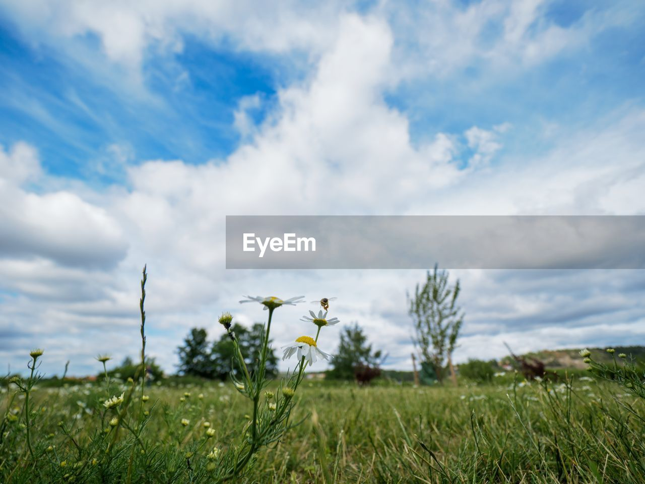 plant, cloud - sky, field, beauty in nature, sky, growth, land, nature, grass, environment, landscape, day, no people, scenics - nature, flower, flowering plant, tranquility, green color, tranquil scene, white color, outdoors