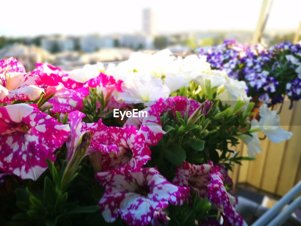 flower, beauty in nature, fragility, nature, petal, freshness, pink color, no people, flower head, growth, plant, purple, outdoors, close-up, focus on foreground, day, blooming, leaf