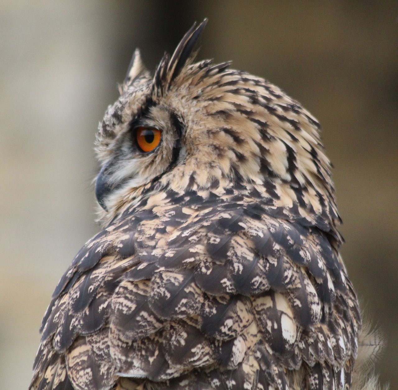 bird, one animal, animals in the wild, animal themes, animal wildlife, bird of prey, focus on foreground, beak, close-up, feather, no people, outdoors, day, nature, portrait, owl, perching
