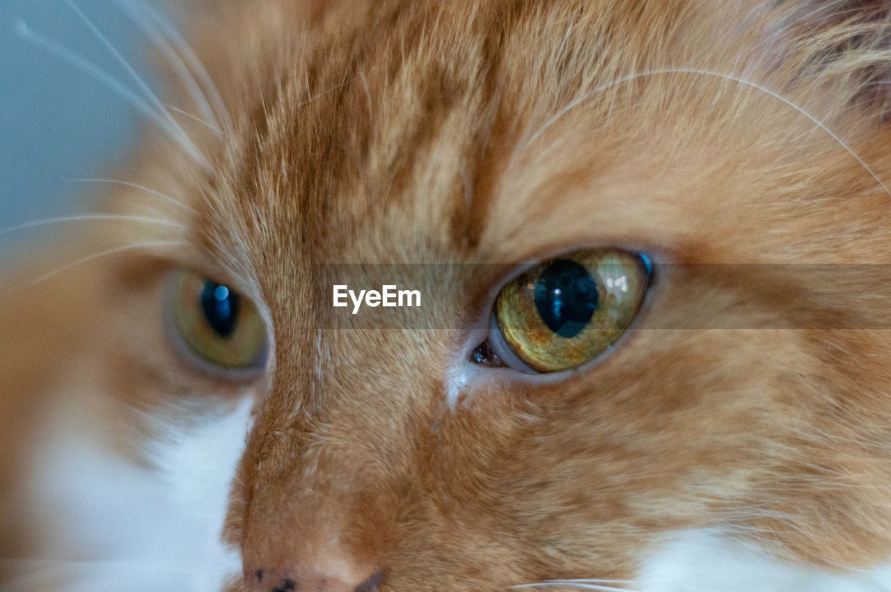 cat, domestic cat, pets, domestic, feline, one animal, animal themes, domestic animals, mammal, animal, vertebrate, close-up, looking at camera, eye, portrait, animal body part, whisker, animal eye, no people, animal head, ginger cat