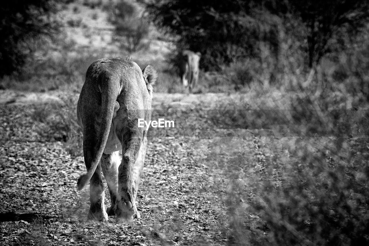 mammal, one animal, animal themes, animal, domestic animals, domestic, pets, vertebrate, field, land, nature, dog, canine, day, no people, plant, selective focus, grass, walking, outdoors, herbivorous, weimaraner