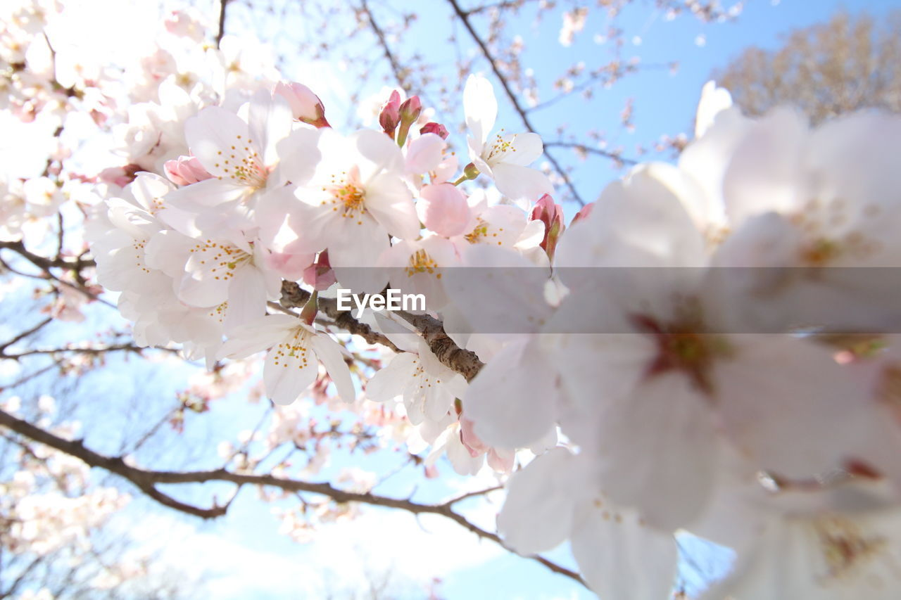 plant, flowering plant, flower, tree, freshness, beauty in nature, fragility, growth, branch, vulnerability, cherry blossom, springtime, blossom, low angle view, petal, nature, white color, cherry tree, day, fruit tree, no people, pollen, flower head, outdoors, spring