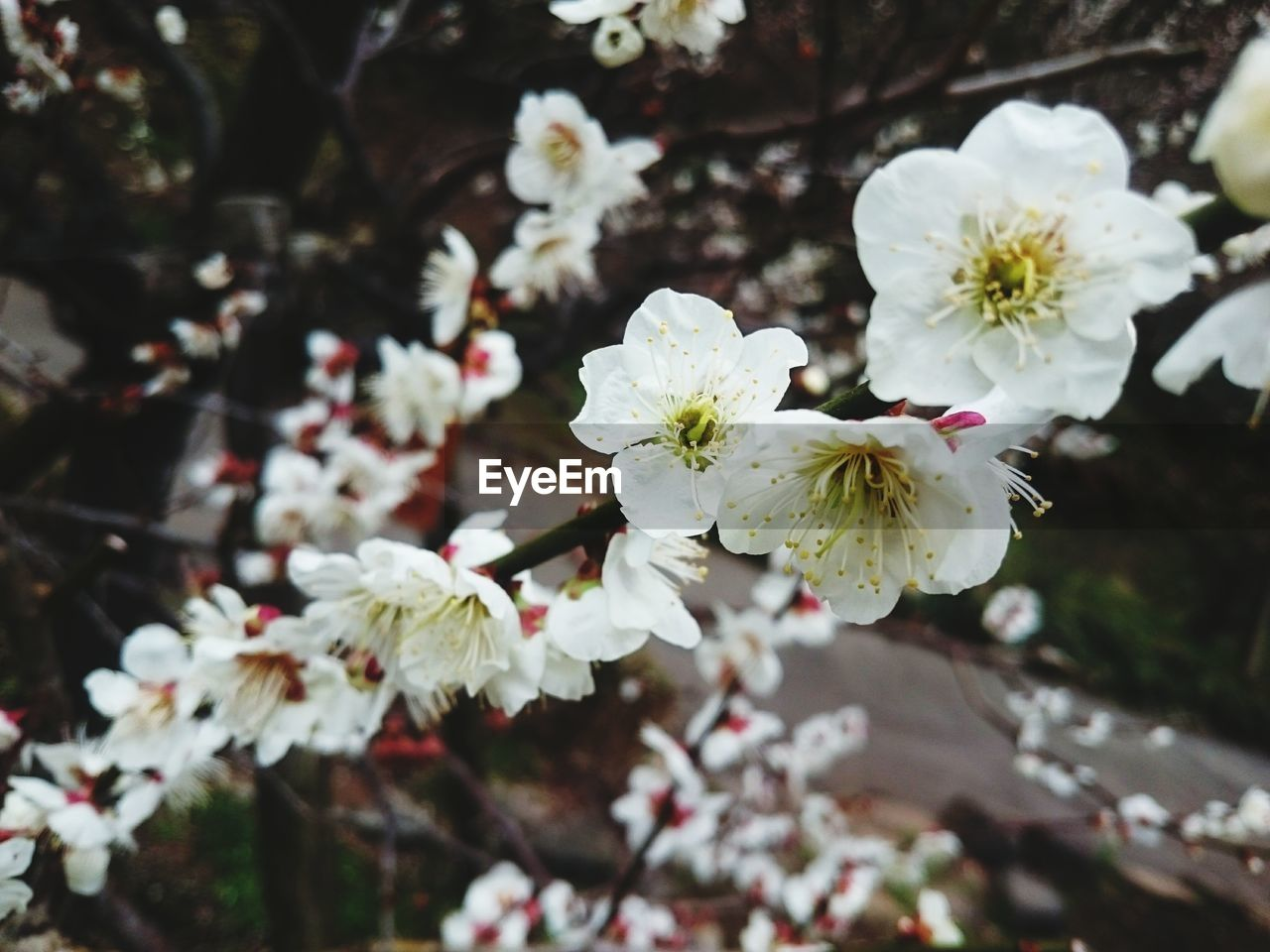 flower, white color, fragility, blossom, nature, petal, no people, growth, beauty in nature, freshness, close-up, outdoors, day, flower head, springtime, tree