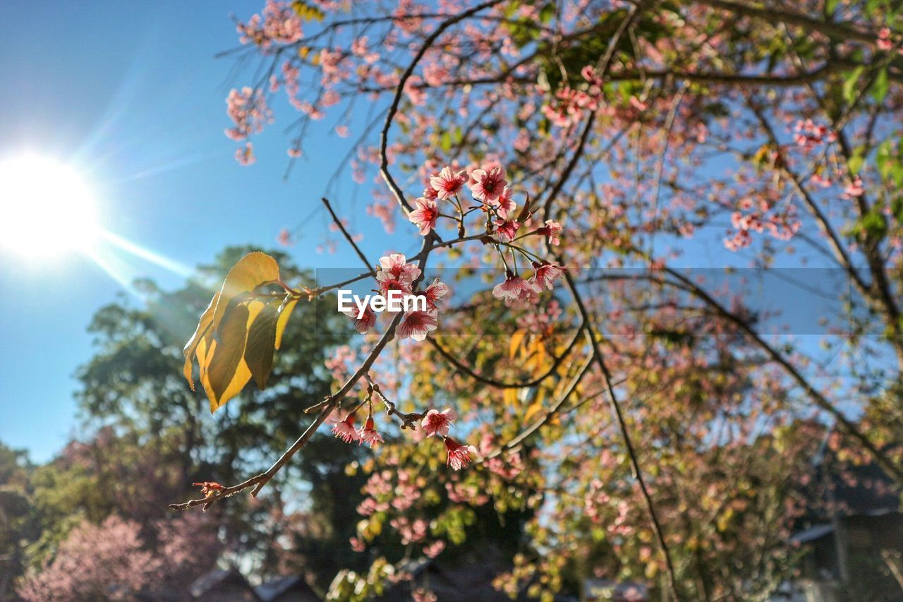 tree, plant, growth, sky, branch, beauty in nature, focus on foreground, day, nature, low angle view, sunlight, freshness, autumn, outdoors, leaf, no people, flowering plant, flower, plant part, tranquility, change, springtime, cherry blossom, cherry tree