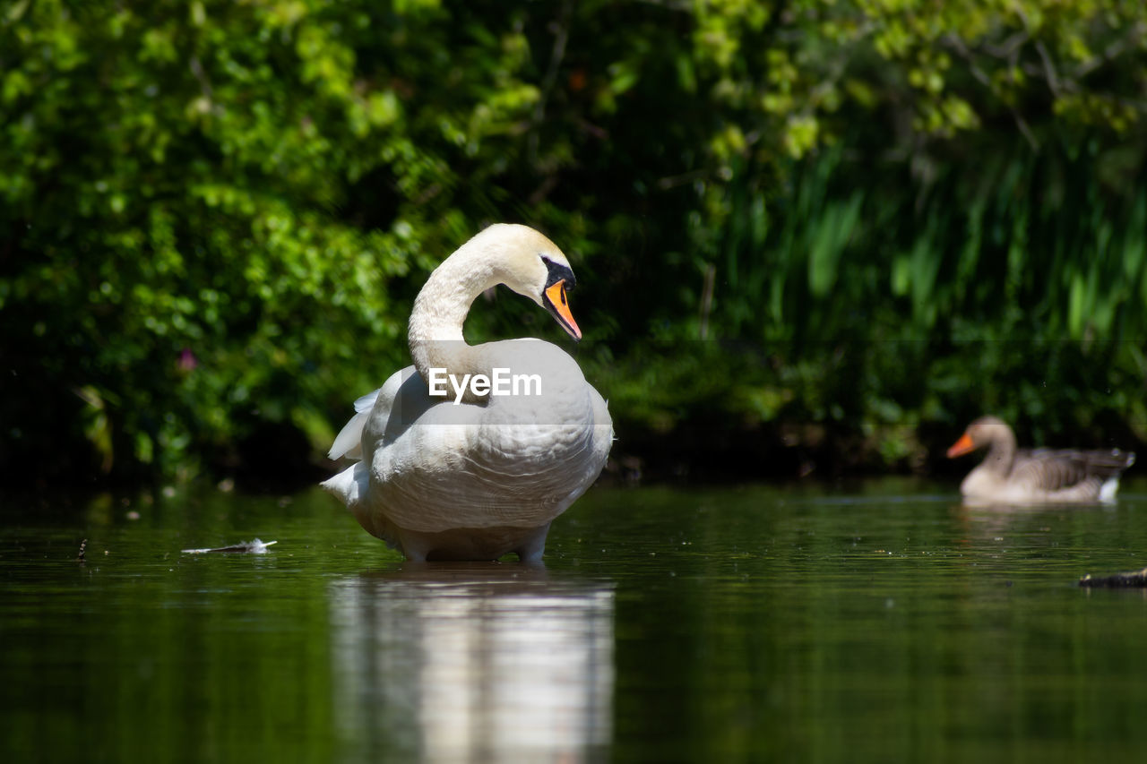 bird, water, animal themes, animal, vertebrate, animals in the wild, animal wildlife, lake, swan, reflection, nature, swimming, water bird, waterfront, day, no people, one animal, beauty in nature, floating on water, cygnet