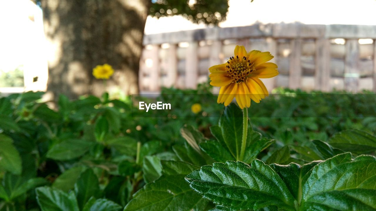 flower, yellow, growth, fragility, plant, freshness, nature, petal, blooming, beauty in nature, flower head, focus on foreground, leaf, outdoors, green color, no people, day, close-up