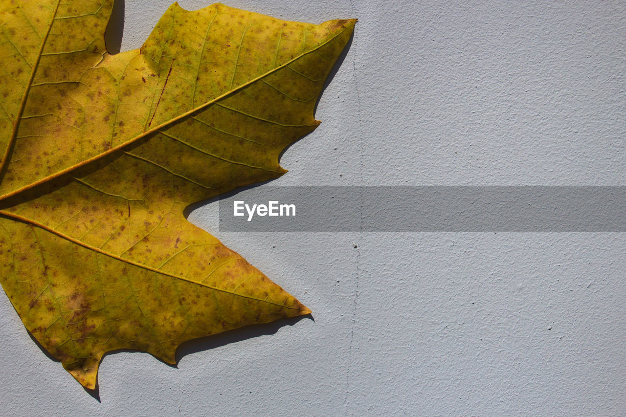 leaf, plant part, autumn, close-up, change, nature, wall - building feature, no people, leaf vein, day, plant, outdoors, yellow, maple leaf, beauty in nature, sunlight, copy space, fragility, vulnerability, built structure, leaves, natural condition
