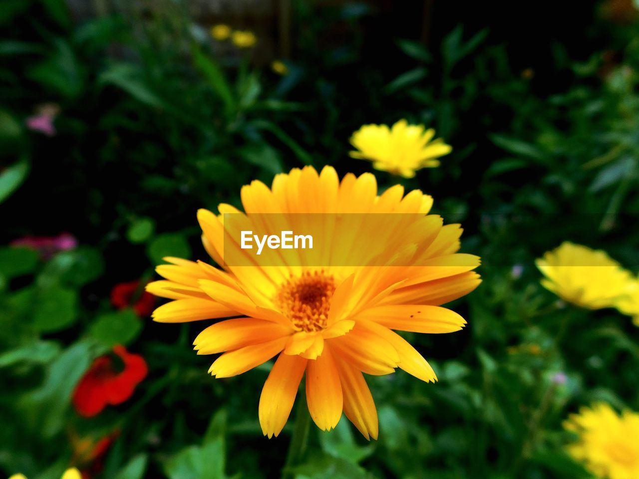 flower, petal, yellow, beauty in nature, fragility, nature, flower head, growth, plant, freshness, blooming, no people, close-up, outdoors, day, cosmos flower