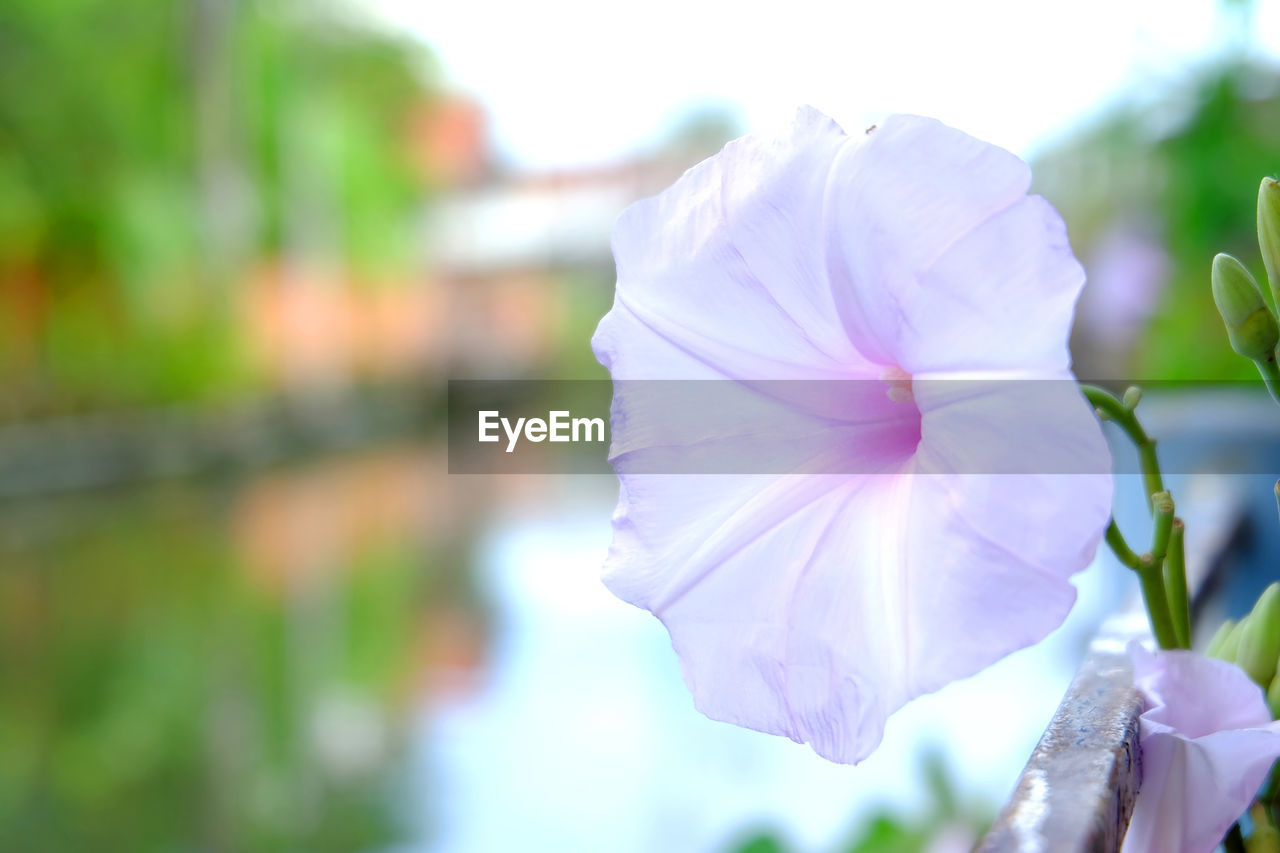 flower, petal, beauty in nature, nature, focus on foreground, freshness, day, fragility, flower head, close-up, outdoors, no people, plant, blooming, petunia