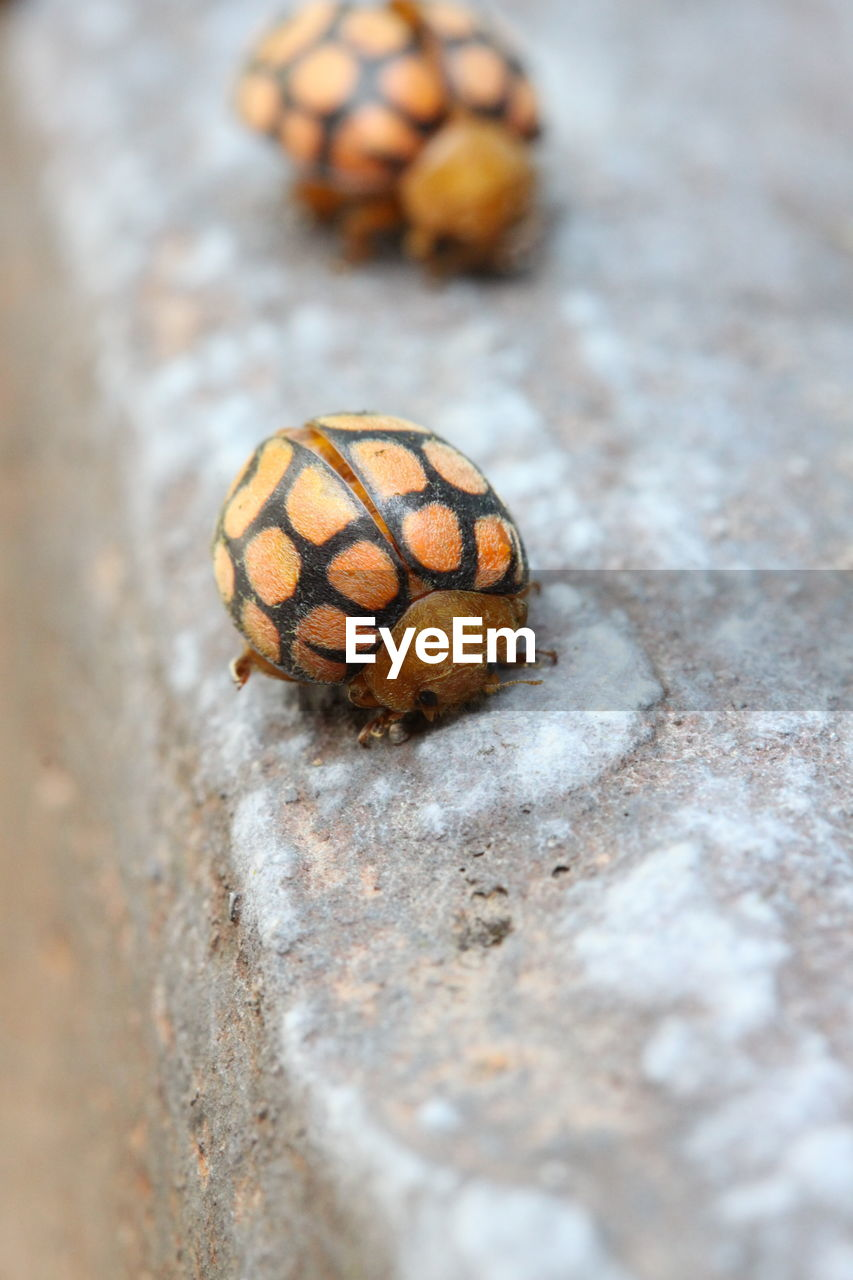 close-up, selective focus, no people, animal themes, animal wildlife, animal, day, invertebrate, outdoors, one animal, animals in the wild, nature, beetle, textured, shell, brown, high angle view, zoology, natural pattern, rough