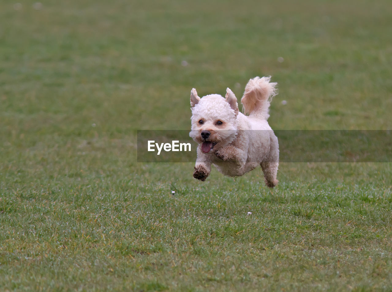 dog, canine, mammal, domestic, domestic animals, pets, animal, animal themes, one animal, running, grass, motion, vertebrate, field, plant, no people, land, day, nature, on the move, mouth open