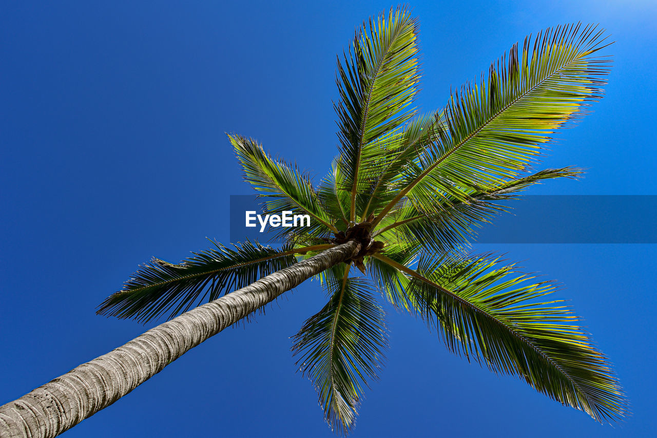 sky, plant, leaf, tree, growth, clear sky, tropical climate, blue, palm tree, plant part, low angle view, green color, nature, no people, palm leaf, day, beauty in nature, outdoors, tranquility, close-up, tropical tree, coconut palm tree