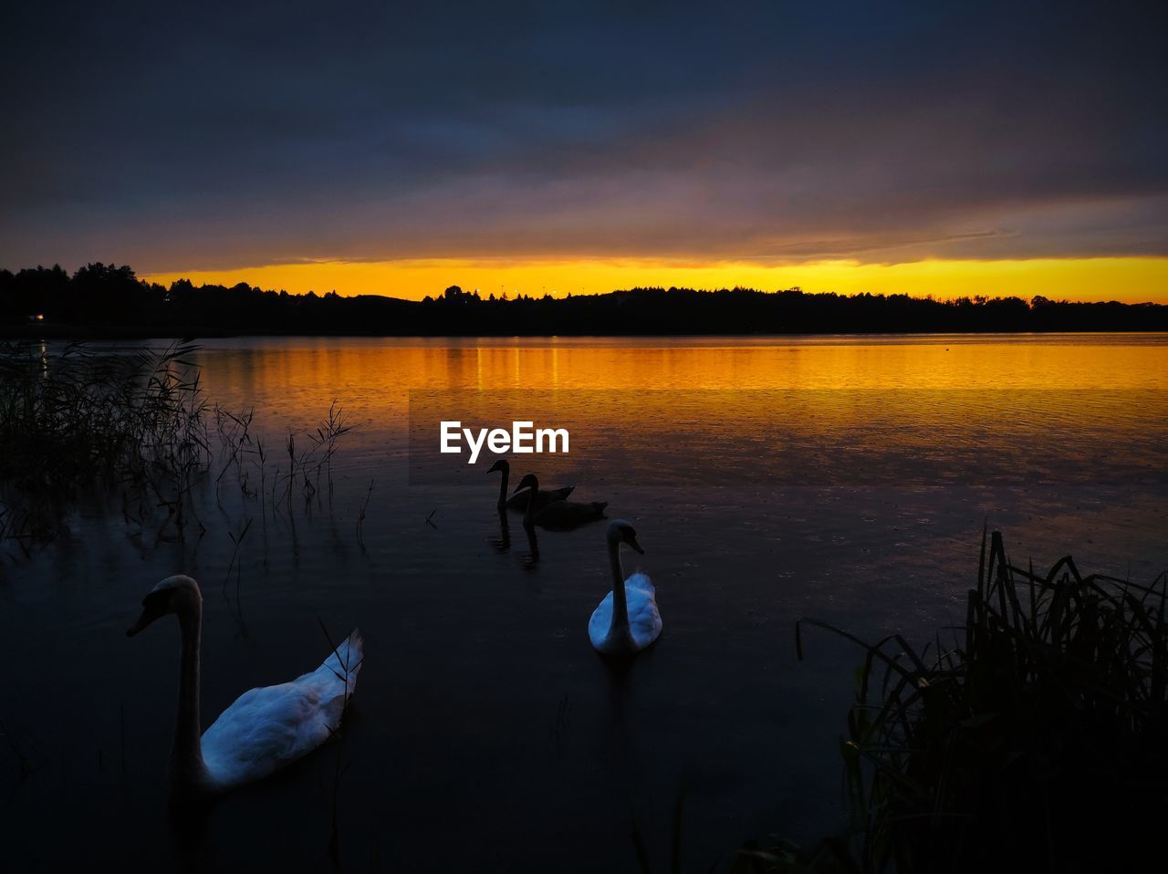 VIEW OF SWANS SWIMMING IN LAKE DURING SUNSET