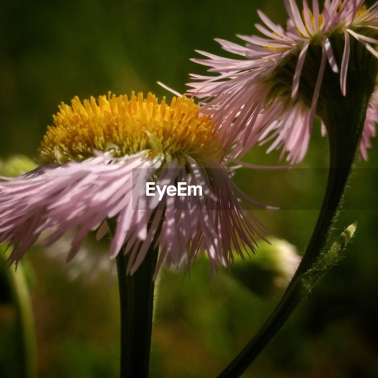 flower, fragility, growth, beauty in nature, petal, nature, flower head, freshness, close-up, pollen, blooming, no people, plant, focus on foreground, day, outdoors, eastern purple coneflower