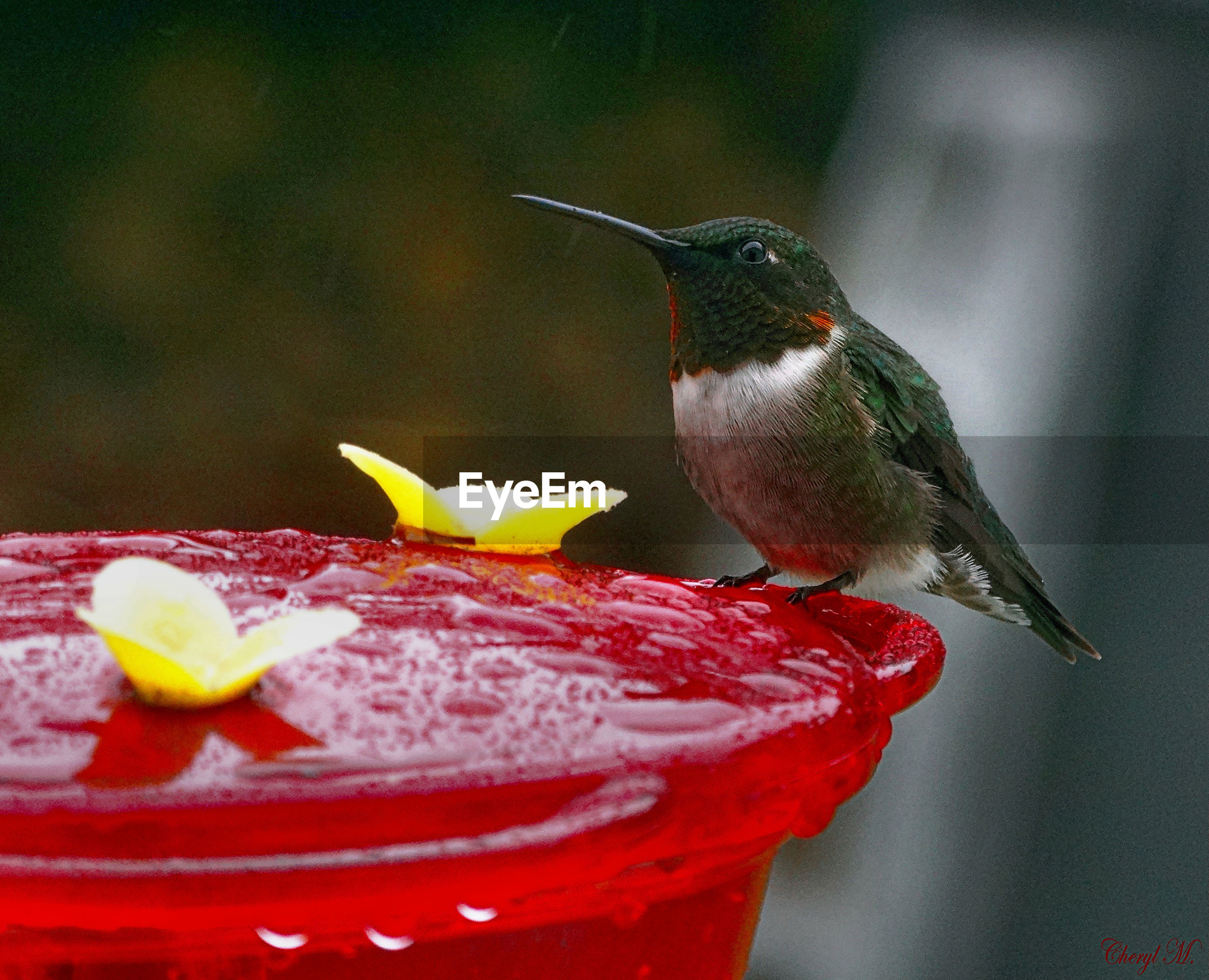 animal themes, bird, animals in the wild, hummingbird, close-up, one animal, animal wildlife, no people, food, perching, day, nature, outdoors